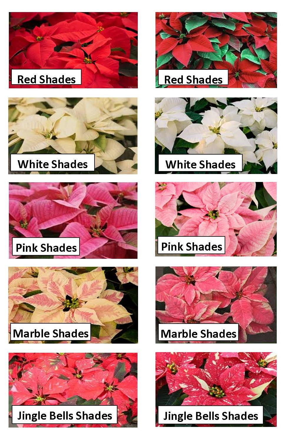 Barbott Farms Greenhouse Poinsettia Colors